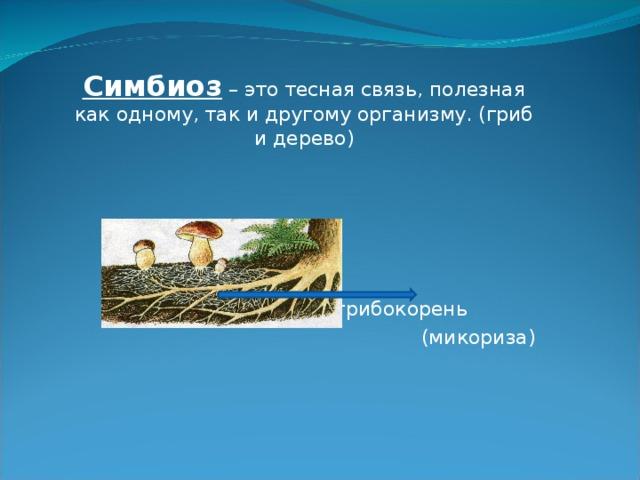 Симбиоз – это тесная связь, полезная как одному, так и другому организму. (гриб и дерево) грибокорень (микориза)