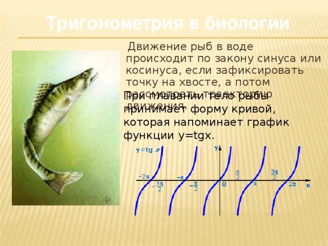 Тригонометрия в биологии   Движение рыб в воде происходит по закону синуса или косинуса, если зафиксировать точку на хвосте, а потом рассмотреть траекторию движения. При плавании тело рыбы принимает форму кривой, которая напоминает график функции y=tgx.