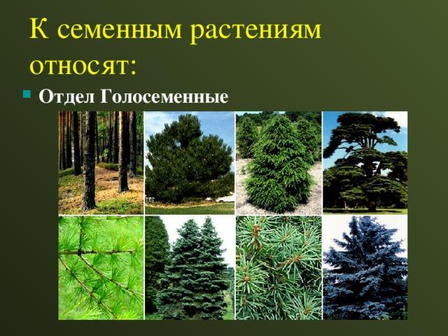 К семенным растениям относят: