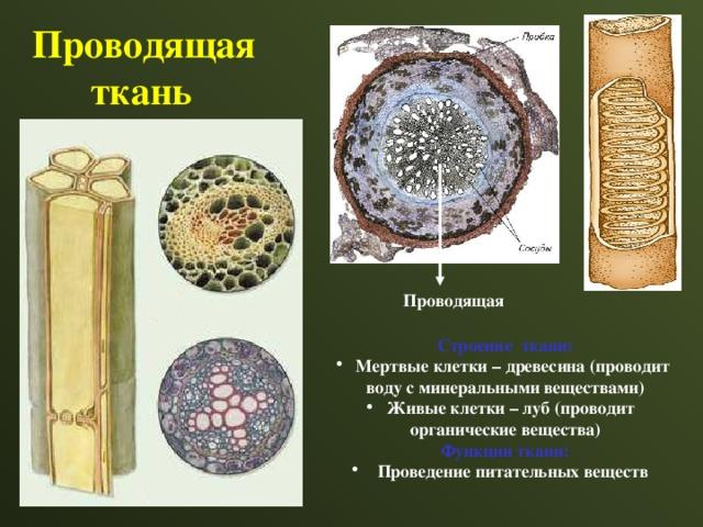 Проводящая  ткань Проводящая  Строение ткани:  Мертвые клетки – древесина (проводит воду с минеральными веществами)  Живые клетки – луб (проводит органические вещества) Функции ткани:
