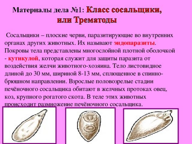Сосальщики – плоские черви, паразитирующие во внутренних органах других животных. Их называют эндопаразиты . Покровы тела представлены многослойной плотной оболочкой - кутикулой , которая служит для защиты паразита от воздействия желчи животного-хозяина. Тело листовидное длиной до 30 мм, шириной 8-13 мм, сплющенное в спинно- брюшном направлении. Взрослые половозрелые стадии печёночного сосальщика обитают в желчных протоках овец, коз, крупного рогатого скота. В теле этих животных происходит размножение печёночного сосальщика.