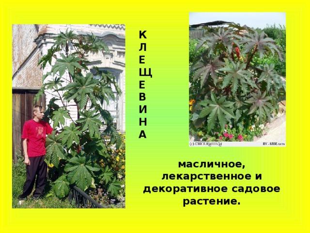 К Л Е Щ Е В И Н А масличное, лекарственное и декоративное садовое растение.
