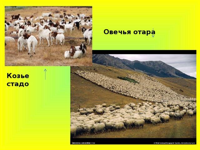 Овечья отара Козье стадо