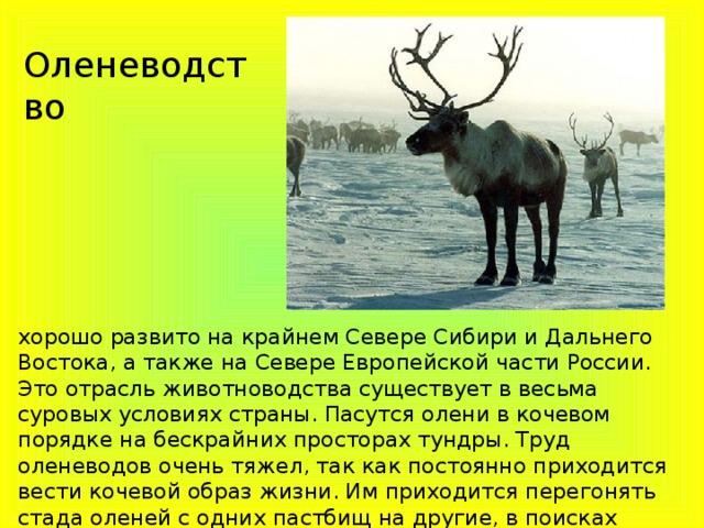 Оленеводство хорошо развито на крайнем Севере Сибири и Дальнего Востока, а также на Севере Европейской части России. Это отрасль животноводства существует в весьма суровых условиях страны. Пасутся олени в кочевом порядке на бескрайних просторах тундры. Труд оленеводов очень тяжел, так как постоянно приходится вести кочевой образ жизни. Им приходится перегонять стада оленей с одних пастбищ на другие, в поисках подходящей для животных растительности.