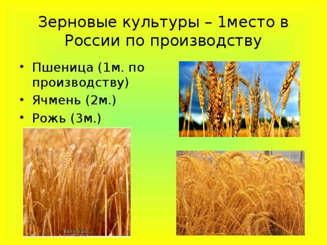 Зерновые культуры – 1место в России по производству