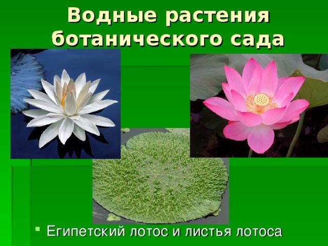 Водные растения ботанического сада