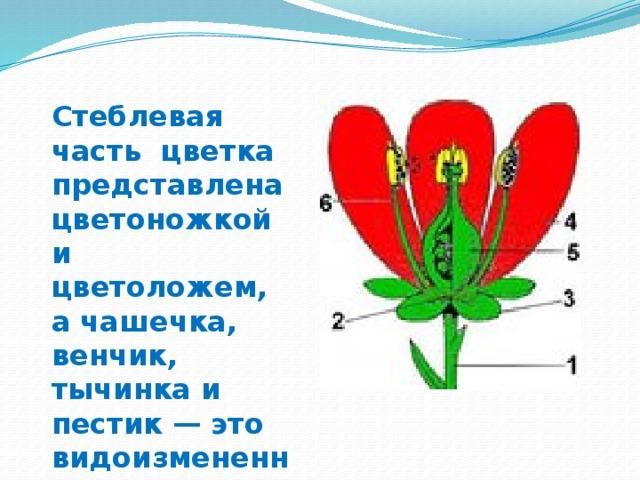 Стеблевая часть цветка представлена цветоножкой и цветоложем, а чашечка, венчик, тычинка и пестик — это видоизмененные листья.