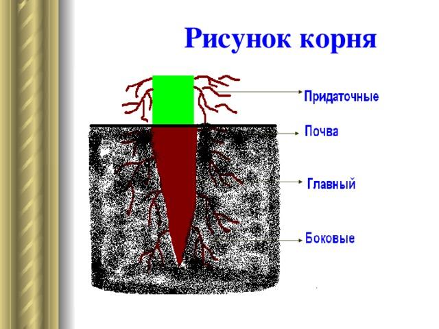 Виды корней Виды корней Главный развивается из корешка зародыша Придаточные на стеблях, листьях. Боковые от главного и придаточных.
