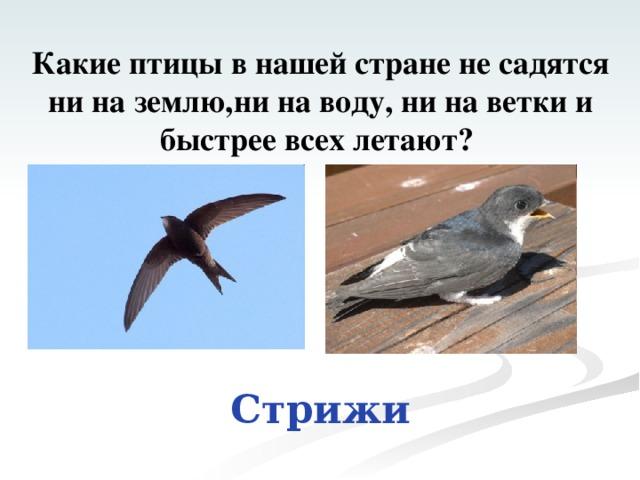 Какие птицы в нашей стране не садятся ни на землю,ни на воду, ни на ветки и быстрее всех летают? Стрижи