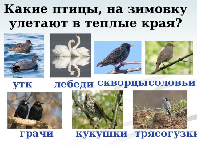 Какие птицы, на зимовку улетают в теплые края? скворцы соловьи утки лебеди грачи кукушки трясогузки