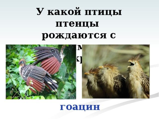 У какой птицы птенцы рождаются с когтями на концах крыльев? гоацин