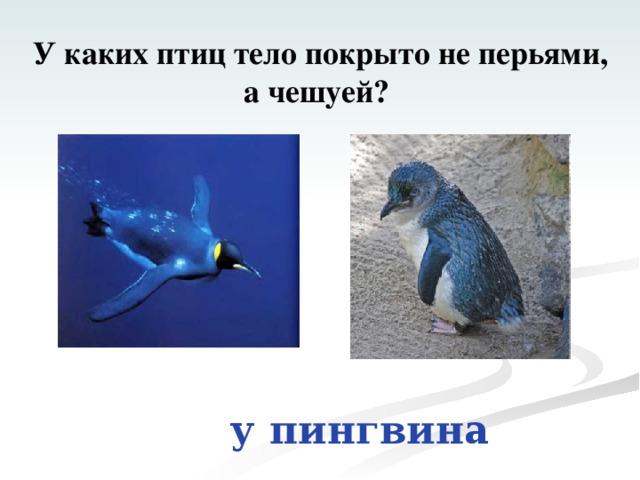 У каких птиц тело покрыто не перьями, а чешуей? у пингвина