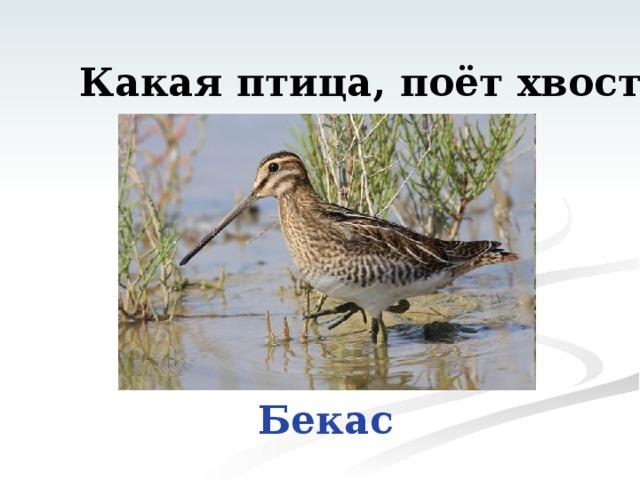 Какая птица, поёт хвостом? Бекас
