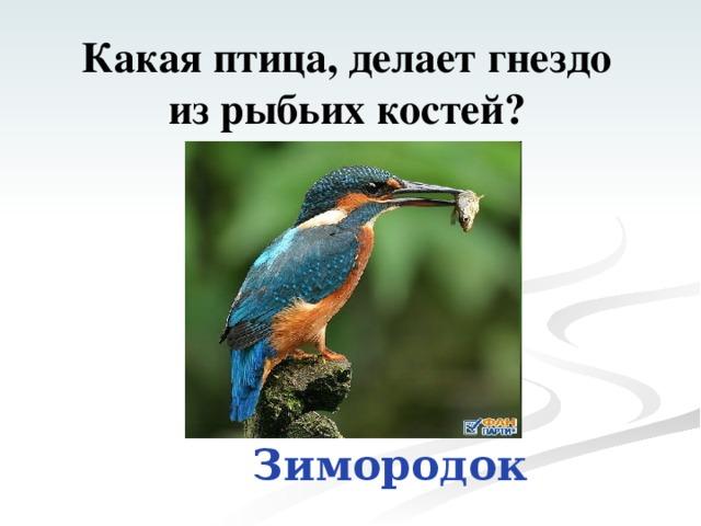 Какая птица, делает гнездо  из рыбьих костей? Зимородок