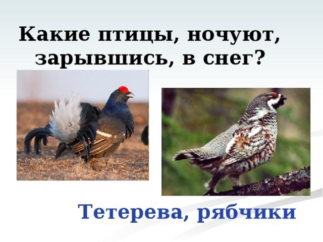 Какие птицы, ночуют,  зарывшись, в снег? Тетерева, рябчики