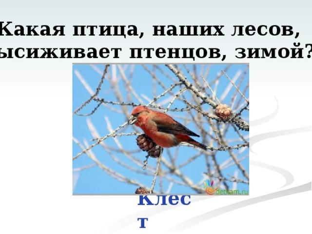Какая птица, наших лесов, высиживает птенцов, зимой? Клёст