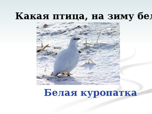 Какая птица, на зиму белеет? Белая куропатка