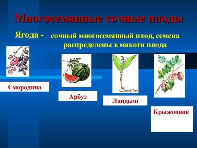 Многосемянные сочные плоды Ягода - сочный многосемянный плод, семена распределены в мякоти плода Смородина Арбуз Ландыш Крыжовник