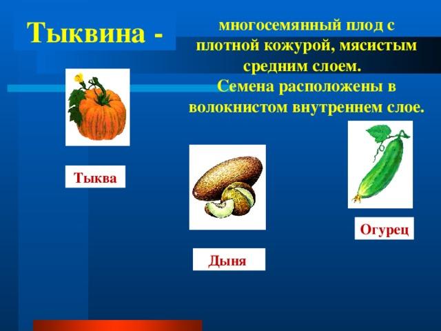 Тыквина - многосемянный плод с плотной кожурой, мясистым средним слоем. Семена расположены в волокнистом внутреннем  слое. Тыква Огурец Дыня