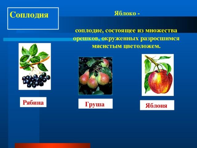 Соплодия Яблоко - соплодие, состоящее из множества орешков, окруженных разросшимся мясистым цветоложем. Рябина Груша Яблоня
