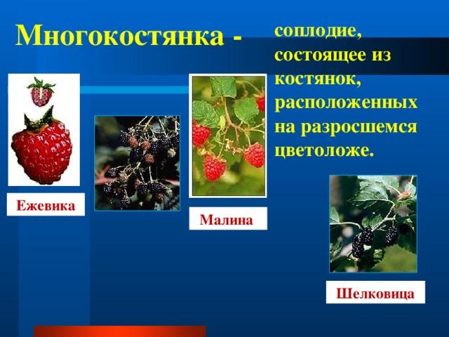 Многокостянка - соплодие, состоящее из костянок, расположенных на разросшемся цветоложе. Ежевика Малина Шелковица