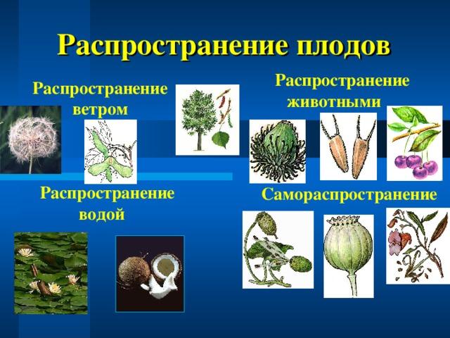 Распространение плодов  Распространение животными Распространение ветром  Распространение водой Самораспространение