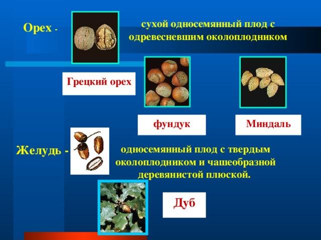 сухой односемянный плод с одревесневшим околоплодником Орех - Грецкий орех фундук Миндаль Желудь - односемянный плод с твердым околоплодником и чашеобразной деревянистой плюской. Дуб