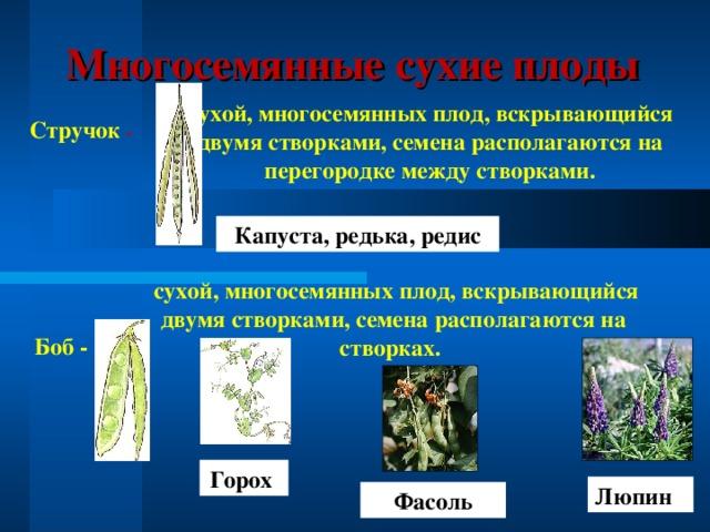 Люпин Многосемянные сухие плоды сухой, многосемянных плод, вскрывающийся двумя створками, семена располагаются на перегородке между створками. Стручок - Капуста, редька, редис  сухой, многосемянных плод, вскрывающийся двумя створками, семена располагаются на створках.  Боб - Горох Фасоль