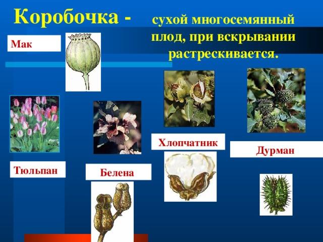 Коробочка - сухой многосемянный плод, при вскрывании растрескивается. Мак Хлопчатник Дурман Тюльпан Белена