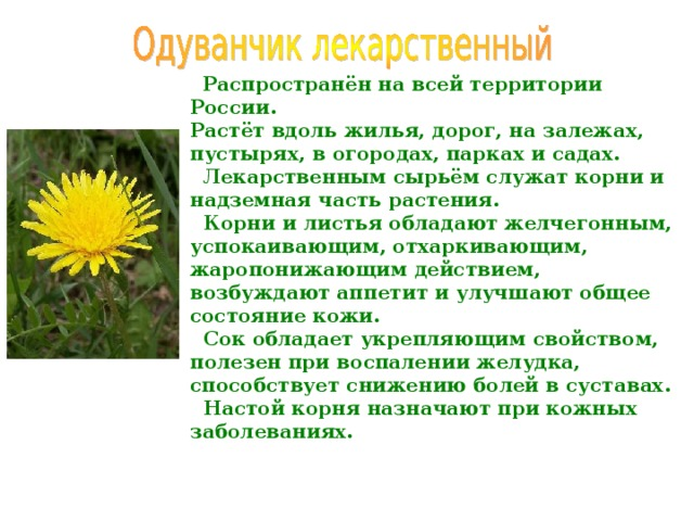 Распространён на всей территории России. Растёт вдоль жилья, дорог, на залежах, пустырях, в огородах, парках и садах.  Лекарственным сырьём служат корни и надземная часть растения.  Корни и листья обладают желчегонным, успокаивающим, отхаркивающим, жаропонижающим действием, возбуждают аппетит и улучшают общее состояние кожи.  Сок обладает укрепляющим свойством, полезен при воспалении желудка, способствует снижению болей в суставах.  Настой корня назначают при кожных заболеваниях.