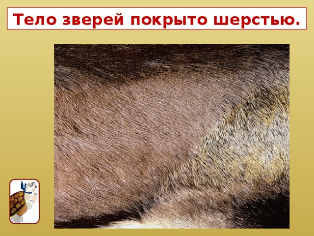Тело зверей покрыто шерстью.