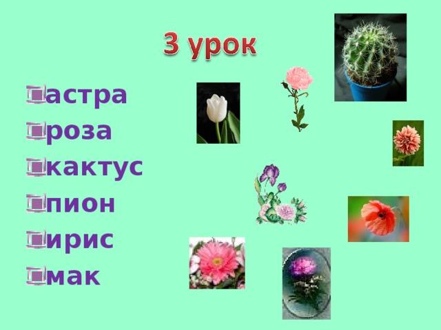 астра роза кактус пион ирис мак