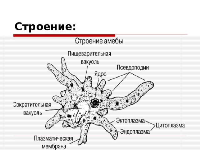 Значение одноклеточных животных доклад 6572