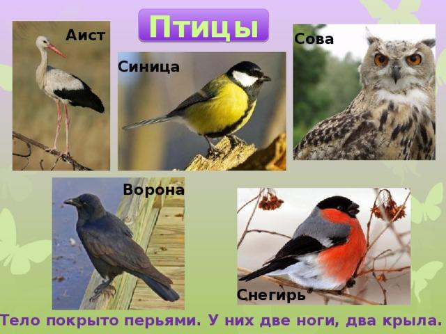 Птицы Аист Сова Синица Ворона Снегирь Тело покрыто перьями. У них две ноги, два крыла.