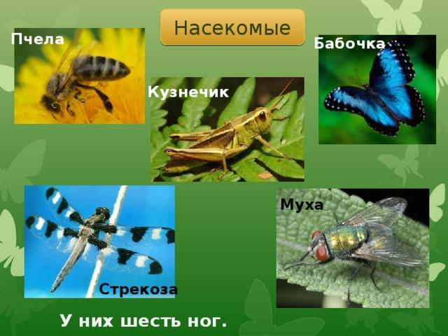 Насекомые Пчела Бабочка Кузнечик Муха Стрекоза У них шесть ног.