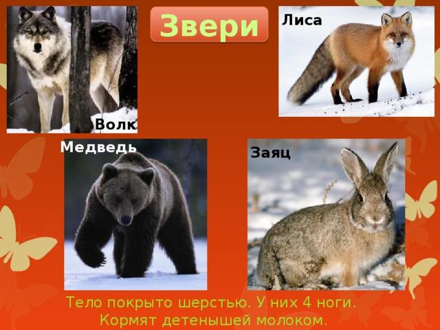 Звери Лиса Волк Медведь Заяц Тело покрыто шерстью. У них 4 ноги. Кормят детенышей молоком.