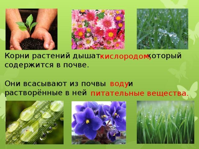 Корни растений дышат  который содержится в почве. Они всасывают из почвы и растворённые в ней кислородом, воду питательные вещества.