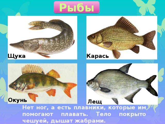 Рыбы Щука Карась Окунь Лещ Нет ног, а есть плавники, которые им помогают плавать. Тело покрыто чешуей, дышат жабрами.