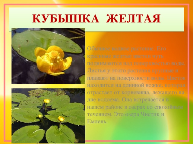 КУБЫШКА ЖЕЛТАЯ Обычное водное растение. Его красивые желтые цветки чуть поднимаются над поверхностью воды. Листья у этого растения крупные и плавают на поверхности воды. Цветок находится на длинной ножке, которая отрастает от корневища, лежащего на дне водоема. Она встречается в нашем районе в озерах со спокойным течением. Это озера Чистик и Емлень.