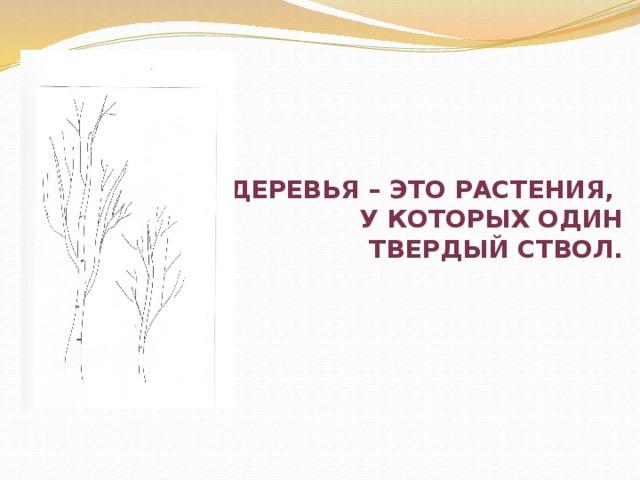 Деревья – это растения,  у которых один  твердый Ствол.