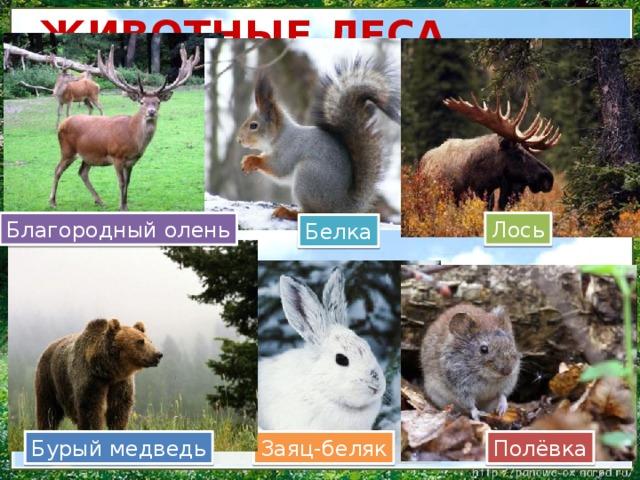 ЖИВОТНЫЕ ЛЕСА Лось Благородный олень Белка Полёвка Заяц-беляк Бурый медведь