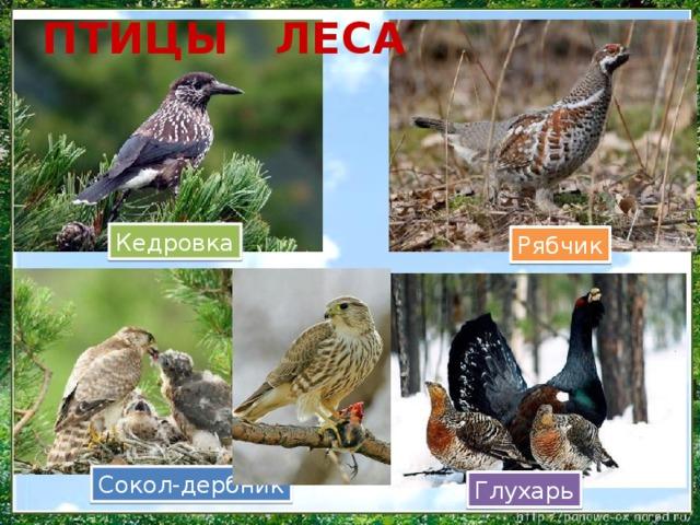 ПТИЦЫ ЛЕСА Кедровка Рябчик Сокол-дербник Глухарь