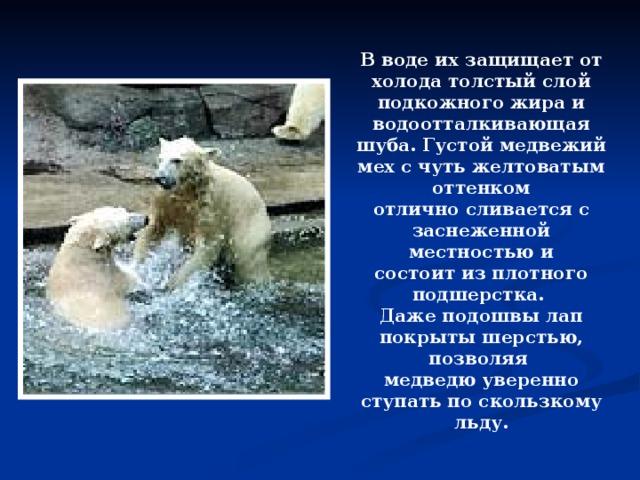 В воде их защищает от холода толстый слой подкожного жира и водоотталкивающая шуба. Густой медвежий мех с чуть желтоватым оттенком отлично сливается с заснеженной местностью и состоит из плотного подшерстка. Даже подошвы лап покрыты шерстью, позволяя медведю уверенно ступать по скользкому льду.  2