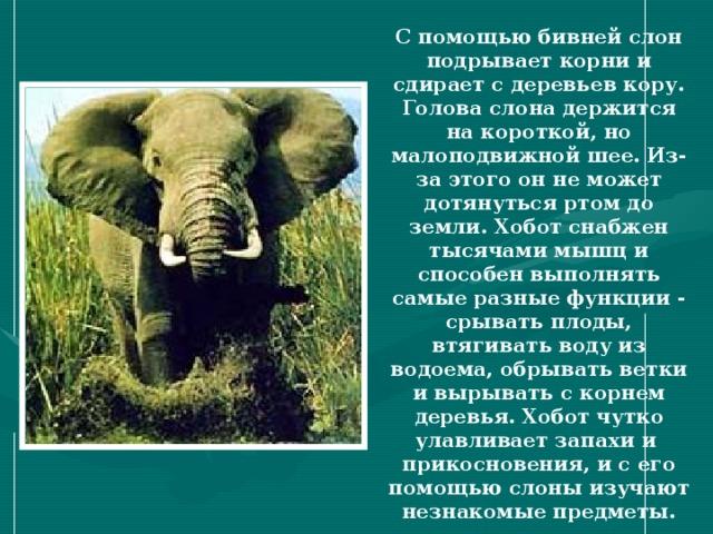 С помощью бивней слон подрывает корни и сдирает с деревьев кору. Голова слона держится на короткой, но малоподвижной шее. Из-за этого он не может дотянуться ртом до земли. Хобот снабжен тысячами мышц и способен выполнять самые разные функции - срывать плоды, втягивать воду из водоема, обрывать ветки и вырывать с корнем деревья. Хобот чутко улавливает запахи и прикосновения, и с его помощью слоны изучают незнакомые предметы. 2