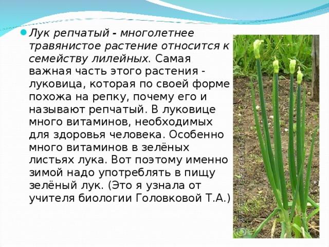 Лук репчатый - многолетнее травянистое растение относится к семейству лилейных. Самая важная часть этого растения - луковица, которая по своей форме похожа на репку, почему его и называют репчатый. В луковице много витаминов, необходимых для здоровья человека. Особенно много витаминов в зелёных листьях лука. Вот поэтому именно зимой надо употреблять в пищу зелёный лук. (Это я узнала от учителя биологии Головковой Т.А.)