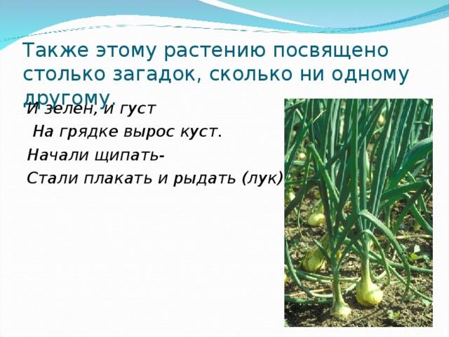 Также этому растению посвящено столько загадок, сколько ни одному другому. И зелен, и густ  На грядке вырос куст. Начали щипать- Стали плакать и рыдать (лук).