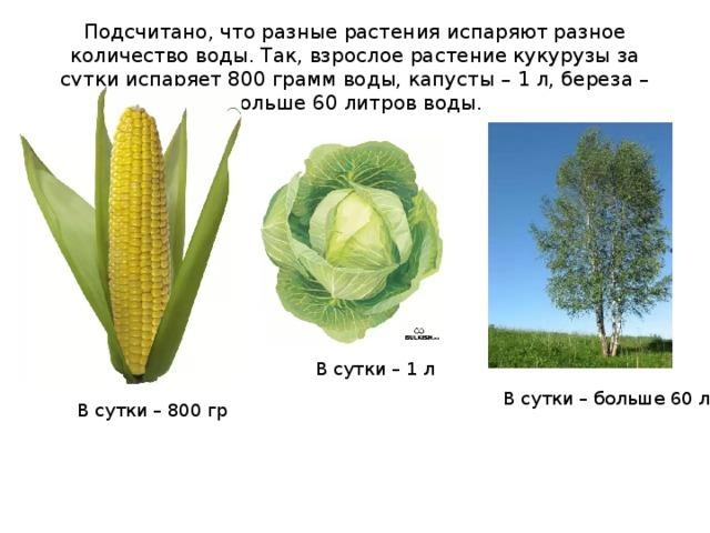 Подсчитано, что разные растения испаряют разное количество воды. Так, взрослое растение кукурузы за сутки испаряет 800 грамм воды, капусты – 1 л, береза – больше 60 литров воды.   В сутки – 1 л В сутки – больше 60 л В сутки – 800 гр