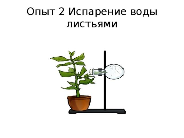 Опыт 2 Испарение воды листьями