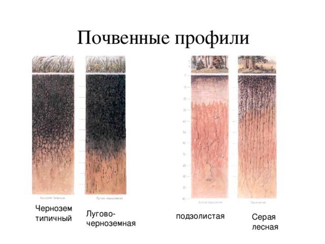 Почвенные профили Почвенные профили Чернозем типичный Лугово- черноземная подзолистая Серая лесная