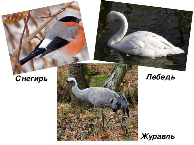 Лебедь Снегирь Журавль